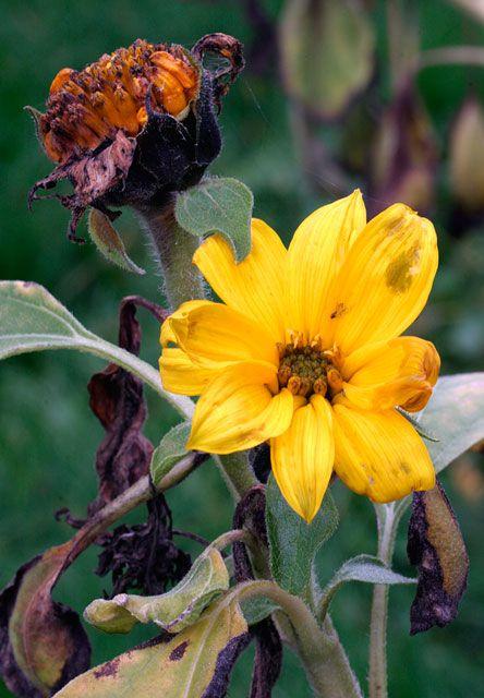 """Obrázek """"http://www.sitnprettyphoto.com/outdoors/scenic/bigimages/fallsunflower3563.jpg"""" nelze zobrazit, protože obsahuje chyby."""