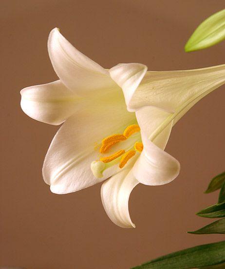 """Obrázek """"http://www.sitnprettyphoto.com/stilllife/bigimages/lily6144.jpg"""" nelze zobrazit, protože obsahuje chyby."""