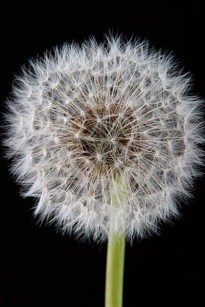"""Obrázek """"http://www.sitnprettyphoto.com/stilllife/bigimages/puff5618.jpg"""" nelze zobrazit, protože obsahuje chyby."""